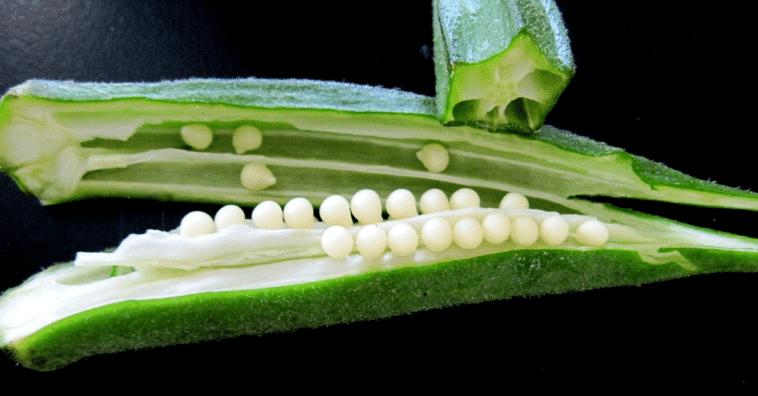 quiabo-sementes