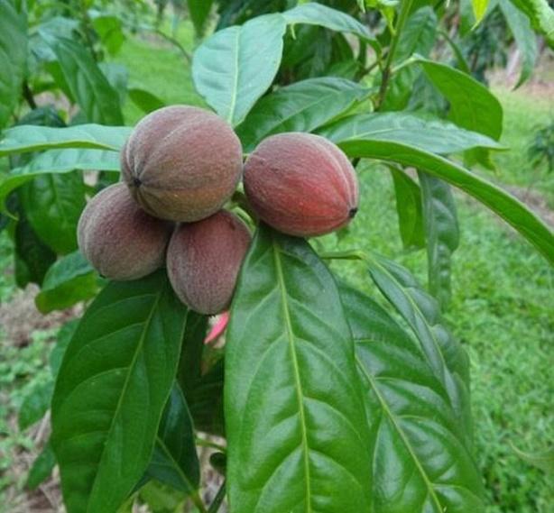 fruta da Austrália