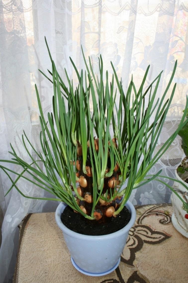 plantar cebolinha